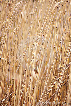 Dry reed, cane.