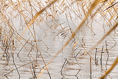 Dry reeds water