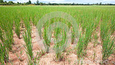 Dry rice field in Cambodia