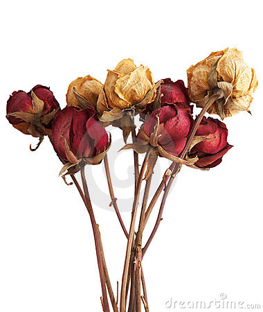 Free Dry Roses Stock Image - 6708971