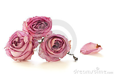 Dry roses isolated on white background