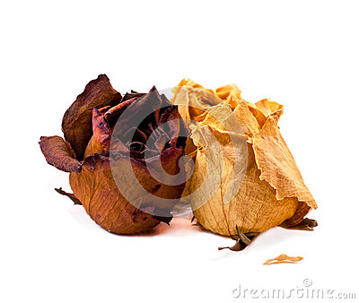 Dry roses  on white background