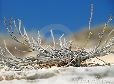 Dry shrub in sand