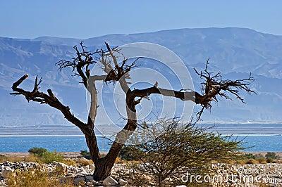 A dry solitary snag near the Dead Sea