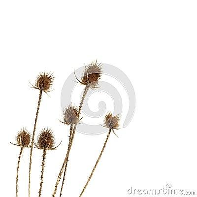 Free Dry Thistle Stock Photos - 18358933