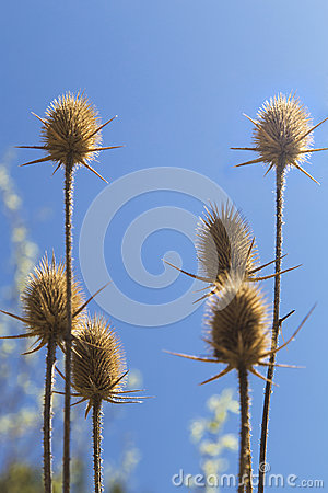 Free Dry Thistle Stock Image - 53271571
