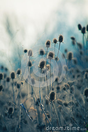 Free Dry Thistle In Winter Autumn Field Stock Image - 81641421