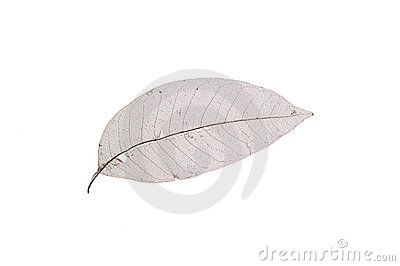 Dry transparent leaf