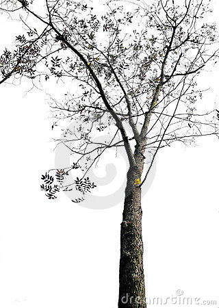 Free Dry Tree Isolated On White Background Stock Images - 12850544