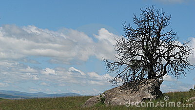 Dry tree on rock, drakensberg