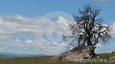 Dry tree on rock, drakensberg