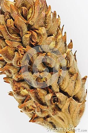 Dryed mognolia bud