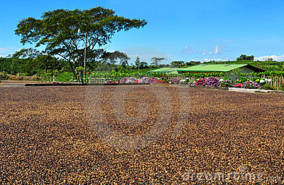 Drying coffee beans, Costa Rica