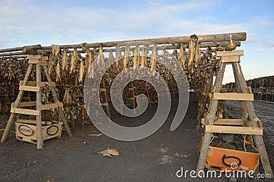 Drying fish Editorial Stock Image