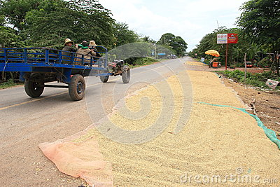 Drying rice grains on a road in Cambodia Editorial Stock Image