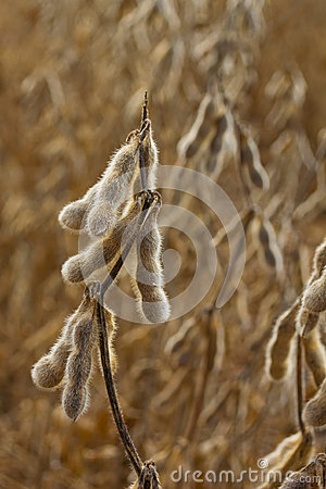 Drying soybeans