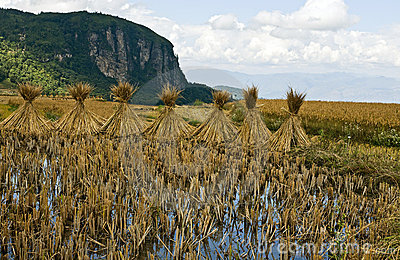 Drying stalks of rice in China