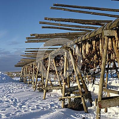 Drying stockfish Iceland