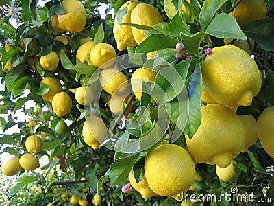 Drzewa cytrynowe
