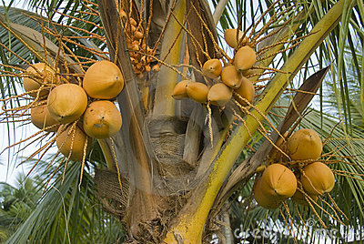 Drzewa kokosowe
