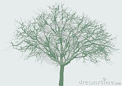 Drzewo szeroki