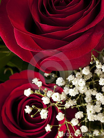 Détail de fleur de Rose