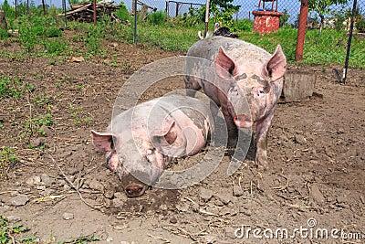 Duża świnia na gospodarstwie rolnym