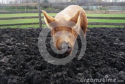 Duży błotnista świnia