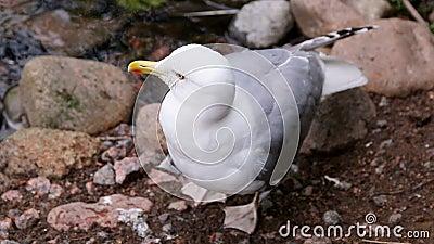Duży biały Seagull czyścą na ziemi zdjęcie wideo