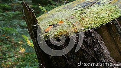 Duży stary pąk, na którym już uformowała się zielona msza, znajduje się w lesie Sawn w poprzednim drzewie zbiory wideo