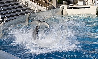 Duży Wodny Splah zabójcą Whal