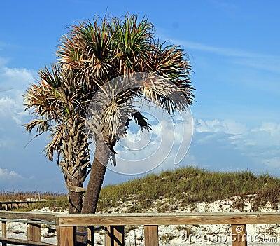 Dual Palm Trees