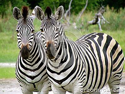 Dual Zebras