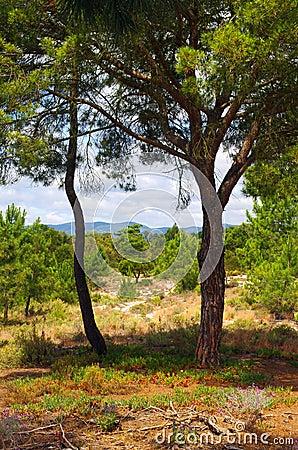 Duas árvores de pinho