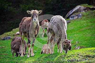 Duas cabras que comem a grama e que olham fixamente na câmera
