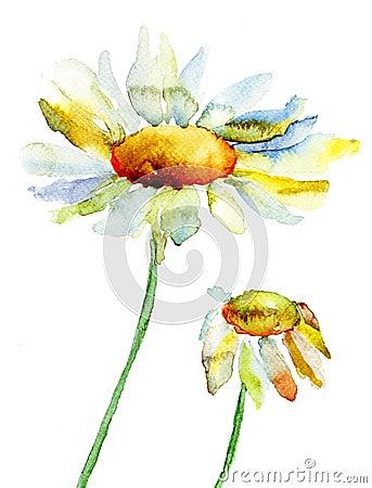 Flores da camomila