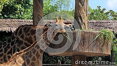 Duas girafas comendo grama no zoológico Girafas no safari park Lindas girafas no zoológico filme