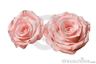 Duas rosas cor-de-rosa