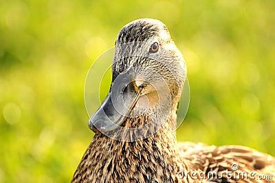 Duck 005