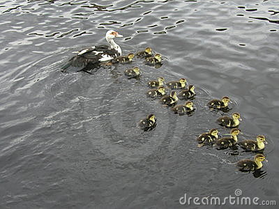 Duck with 17 little kids