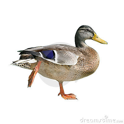 Free Duck Royalty Free Stock Images - 18547309