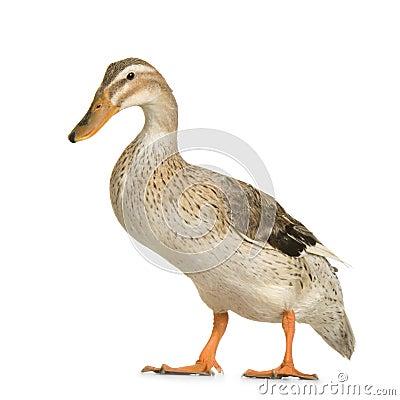 Free Duck Stock Photo - 2307660