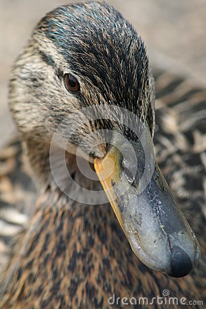 Free Duck Royalty Free Stock Photo - 25391695