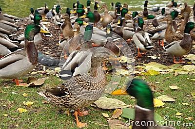 She-duck