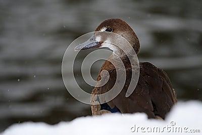 Duck Amazon (Amazonetta brasiliensis)