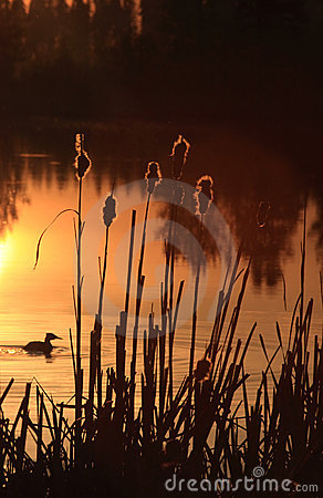 Free Duck And Cattails Stock Image - 5338851