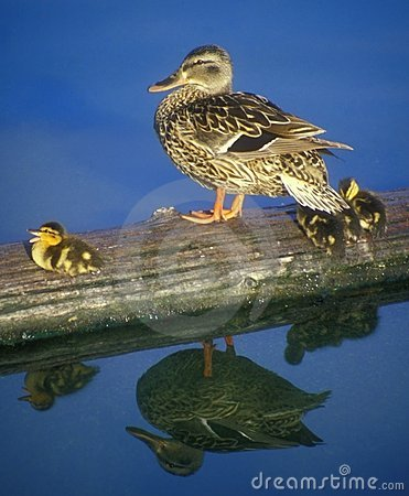 Free Duck And Ducklings Stock Photography - 12087852