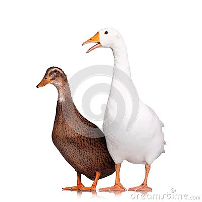 Free Duck And Goose Stock Images - 29154594