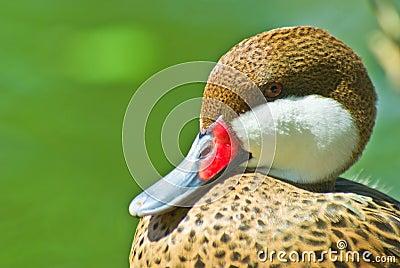 Duck Bahamas