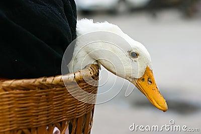 Duck in basket